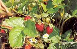 månedsjordbær dyf 384