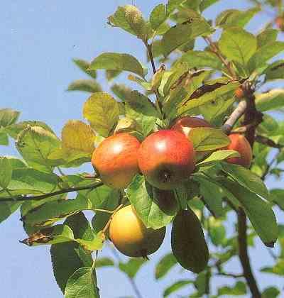 udtynding af æbler