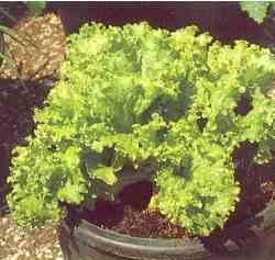 dyrkning af agurker